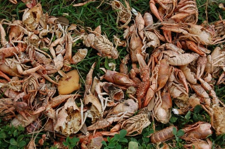 Crawfish Still Life - New Olreans, LA Tuesday, March 30, 2011